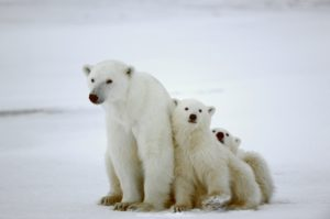 ARE THERE POLAR BEARS IN ICELAND