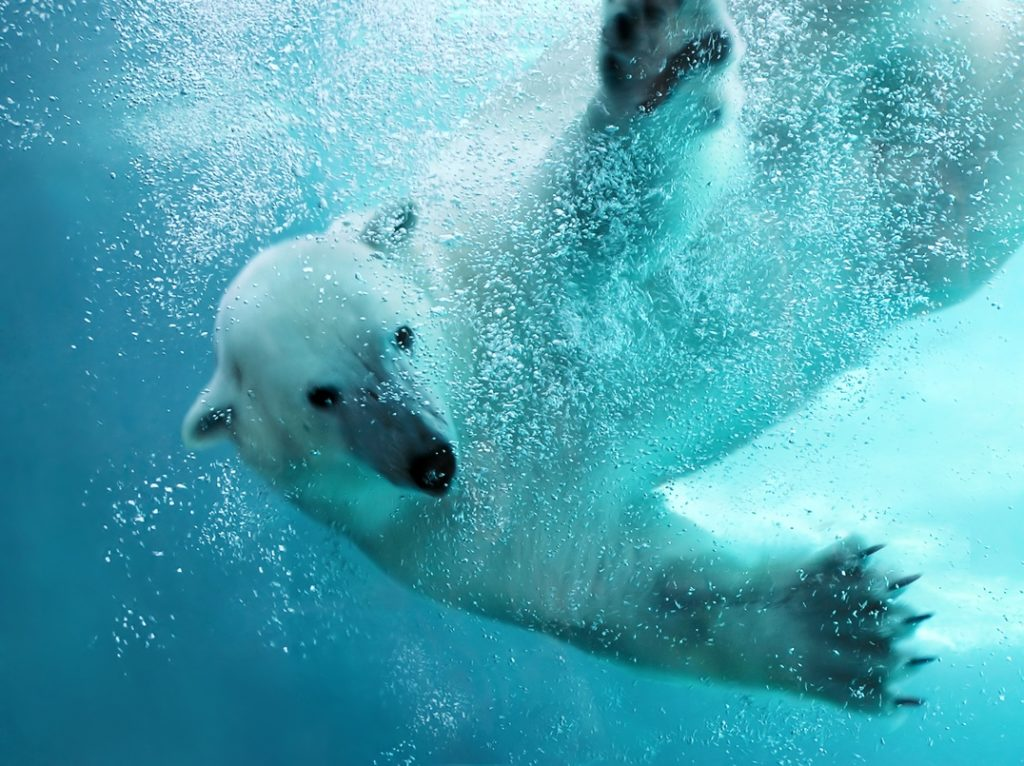 ARE THERE POLAR BEARS IN ICELAND - Polar Bear Underwater