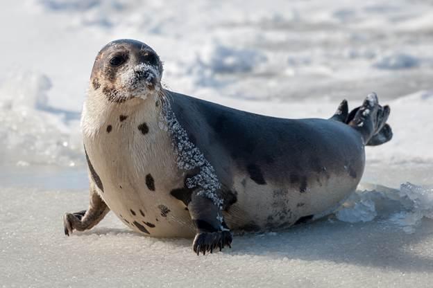 iceland seal - iceland food